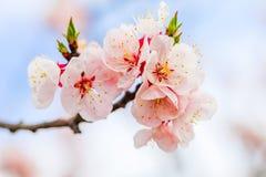 Mooie kersenbloesem, sakura in de Zachte nadruk van de de lentetijd Royalty-vrije Stock Fotografie