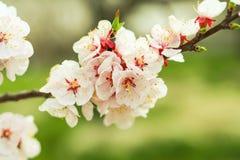 Mooie kersenbloesem, sakura in de Zachte nadruk van de de lentetijd Royalty-vrije Stock Afbeeldingen