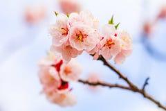 Mooie kersenbloesem, sakura in de Zachte nadruk van de de lentetijd Royalty-vrije Stock Foto