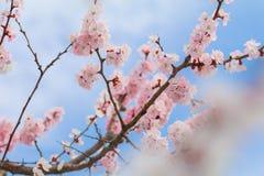Mooie kersenbloesem, sakura in de Zachte nadruk van de de lentetijd Royalty-vrije Stock Foto's