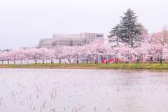 Mooie kersenbloesem, sakura in de Zachte nadruk van de de lentetijd Stock Afbeelding