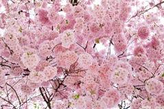 Mooie kersenbloesems die het frame vullen stock foto