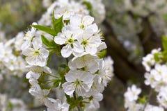 Mooie kersenboom Royalty-vrije Stock Foto's