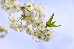 Mooie kersenboom Royalty-vrije Stock Foto