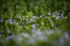Mooie, kleine blauwe bloemen die in het gras in de lente tot bloei komen royalty-vrije stock fotografie