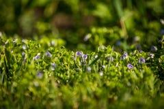 Mooie, kleine blauwe bloemen die in het gras in de lente tot bloei komen royalty-vrije stock foto