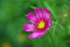 Mooie Kleine Daisy Royalty-vrije Stock Afbeeldingen