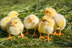 Mooie kleine gele kippen op groene achtergrond royalty-vrije stock afbeeldingen