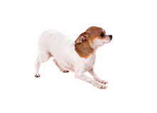 Mooie kleine hond Royalty-vrije Stock Foto's