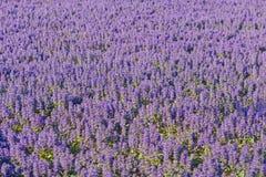 Mooie kleine purpere lavendel op het gebied met selectieve nadruk royalty-vrije stock afbeelding