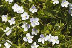Mooie kleine witte bloemen Royalty-vrije Stock Afbeeldingen