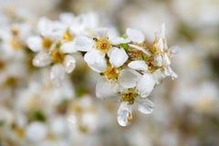Mooie kleine witte bloemen met regendruppel Royalty-vrije Stock Afbeeldingen