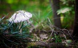 Mooie kleine witte paddestoel Stock Afbeelding