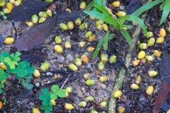 Mooie kleuren van geelgroene die palmzaden op een Aziatische bosgrond worden verspreid en zijn gevallen stock fotografie