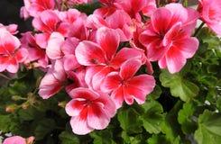 Mooie Kleurrijke bloemen Royalty-vrije Stock Afbeelding