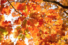 Mooie kleurrijke (gekleurde) bladeren van eiken boom Royalty-vrije Stock Foto's