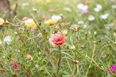 Mooie kleurrijke portulacabloem in tuin met zonlicht stock foto's