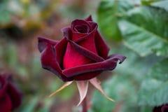 Mooie kleurrijke Rose Flower stock afbeeldingen
