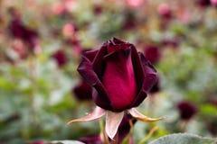 Mooie kleurrijke Rose Flower royalty-vrije stock afbeelding