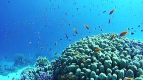 Mooie Kleurrijke Tropische Vissen op Trillende Coral Reefs Underwater in het Rode Overzees Egypte stock footage