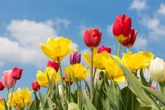 Mooie kleurrijke tulpen tegen een blauwe hemel met wolken royalty-vrije stock foto's
