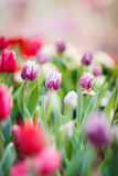 Mooie kleurrijke tulpen in tuin Royalty-vrije Stock Foto's