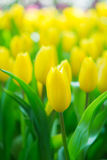 Mooie kleurrijke Tulpenbloem royalty-vrije stock fotografie