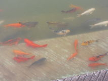 Mooie kleurrijke vissen in de vijver Royalty-vrije Stock Afbeeldingen