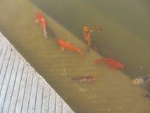 Mooie kleurrijke vissen in de vijver Stock Afbeelding