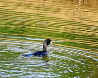Mooie kleurrijke vogel bij een rivier in Kerala, India royalty-vrije stock foto