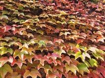 Mooie klimplant in de herfstkleuren Royalty-vrije Stock Afbeeldingen