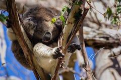 Mooie koala Royalty-vrije Stock Afbeeldingen