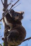 Mooie koala Royalty-vrije Stock Foto's