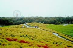 Mooie kochiasheuvel in de herfstseizoen bij Hitachi-kustpark Stock Afbeelding