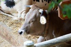 Mooie koe met gesloten ogen op het landbouwbedrijf clouseup stock afbeelding