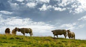 Mooie koeien die de alpiene weilanden weiden Stock Afbeeldingen
