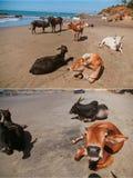 Mooie koeien op Vagator-strand Royalty-vrije Stock Afbeelding