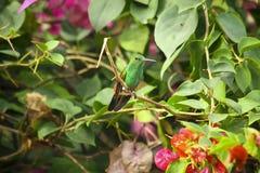 Mooie kolibrie in de struik met bloemen Stock Afbeeldingen