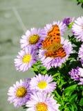 Mooie kommavlinder die met open vleugels van een aster voeden Stock Foto
