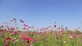 Mooie kosmosbloemen die in de wind slingeren stock videobeelden