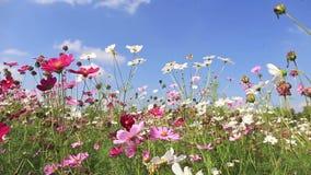 Mooie kosmosbloemen die in de wind slingeren stock video