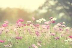 Mooie Kosmosbloemen die in tuin bloeien Stock Afbeelding