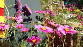 Mooie Kosmosbloemen door de wind stock video
