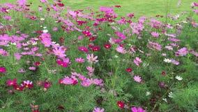 Mooie kosmosbloemen in het park stock footage