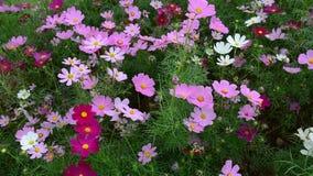 Mooie kosmosbloemen in het park stock videobeelden