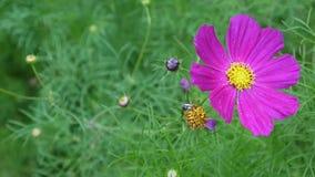 Mooie kosmosbloemen op het bloembed Sluit omhoog stock video