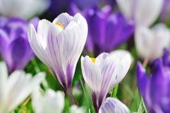 Mooie krokus in de lente Royalty-vrije Stock Afbeelding
