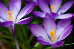 Mooie krokus in de tuin. Stock Foto's