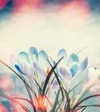 Mooie krokussen in zonnestraal bokeh, de lenteaard en bloemen royalty-vrije stock afbeelding