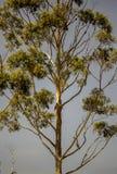 Mooie kroon van een eucalyptusboom stock afbeeldingen